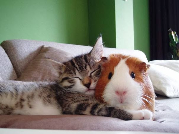 Cat And Guinea Pig