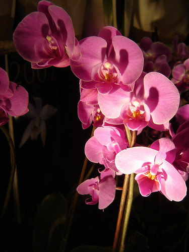 orchids, orkideat