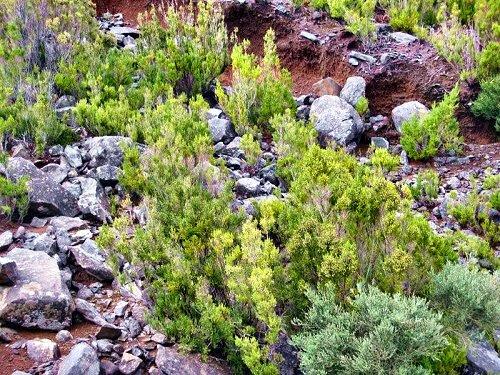 20100529-rq-04-Erica arborea