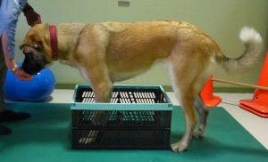 exercícios cães obesos