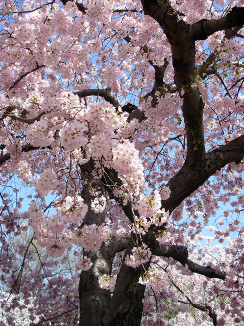 beautiful, blossom, blossoms, cherry blossom, cherry blossoms, color, colorful, colors, floral, flower, flowers, inspiration, inspire, inspiring, nature, photography, pink, pretty, spring, summer, tree