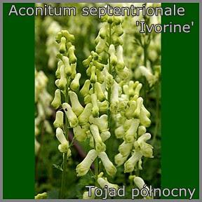 Aconitum septentrionale 'Ivorine' - Tojad północny 1