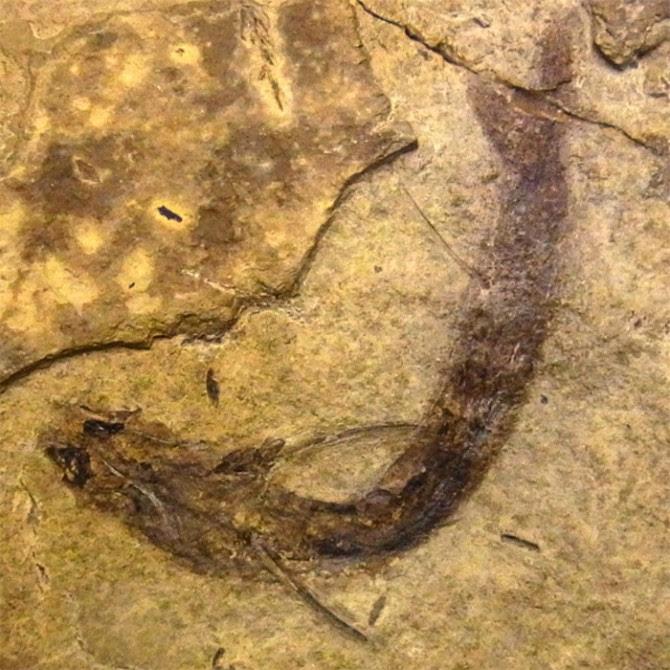 Acanthodes-bridgei-fossil