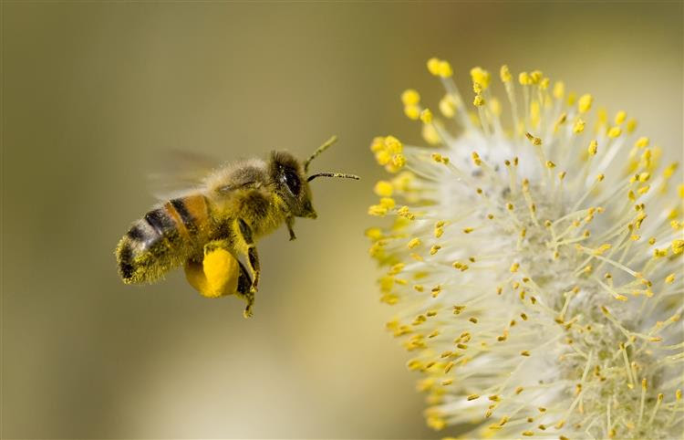 As abelhas estão a desaparecer