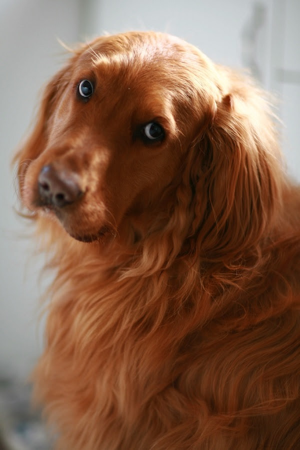 25 Reasons Golden Retrievers Are Actually The Worst Dogs To Live With