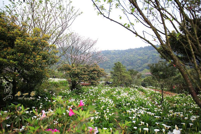 陽明山景點] 竹子湖海芋季開始|竹子湖夜拍