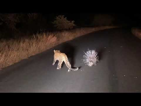 Leopardo fica frustrado com defesa infalível de porco-espinho