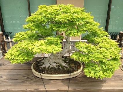 About Bonsais The Art Of Bonsai Trees