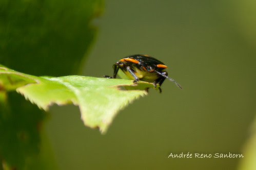 Green Stink Bug nymph (Chinavia hilaris) -1.jpg