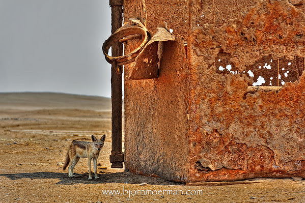 Jackal living in an oil rig at Skeleton coast