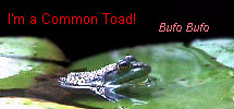 I'm a Common Toad!