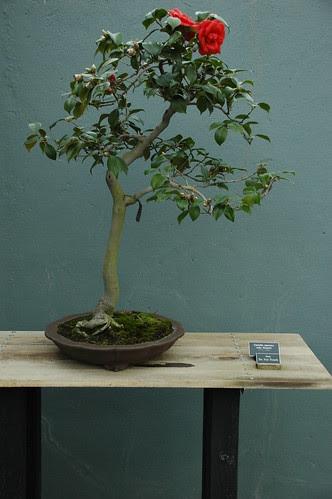 Camellia japonica Julia Drayton, Bonsai, Literati style