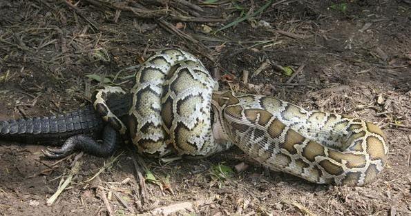 piton vs cocodrilo