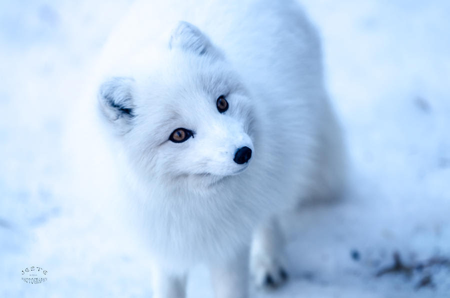 arctic_fox___feed_me_i_am_cute__by_jestephotography d73zd1h
