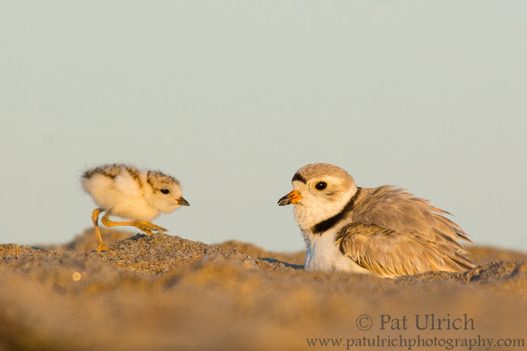 Photograph of a piping plover chick approaching its parent in early morning light
