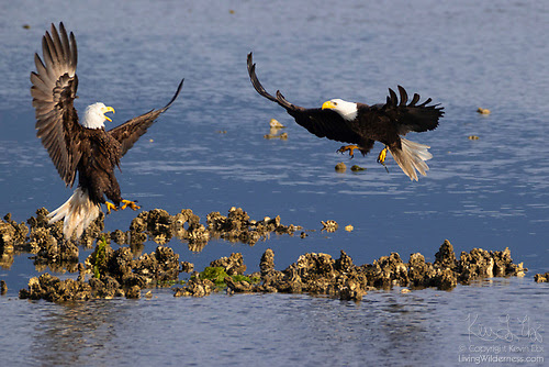 Bald Eagles Fighting, Hood Canal, Seabeck, Washington