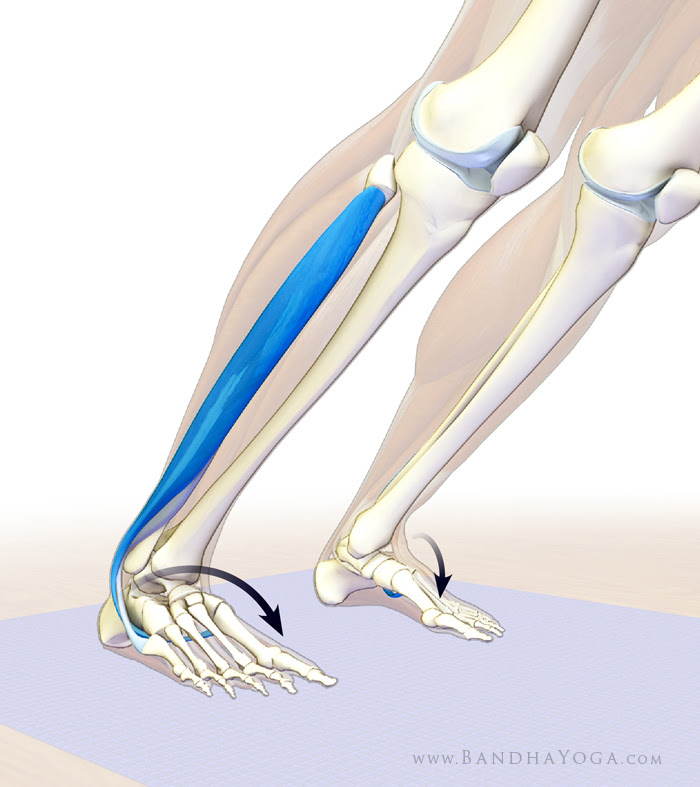 peroneous longus and brevis in downward dog