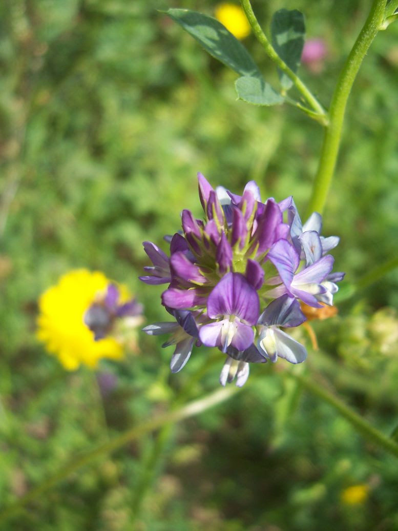 Photo de fleur de luzerne