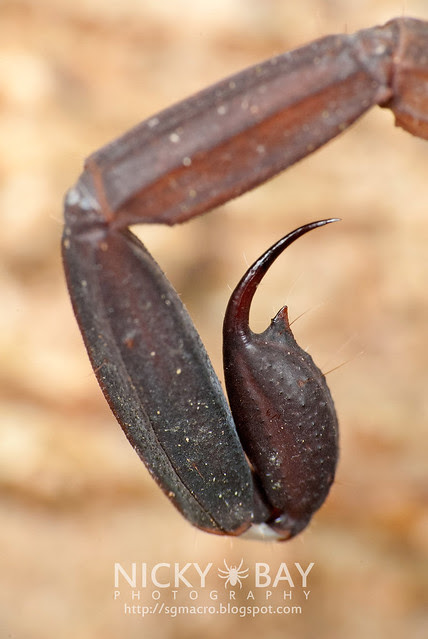 Scorpion's Sting (Lychas scutilus?) - DSC_8996