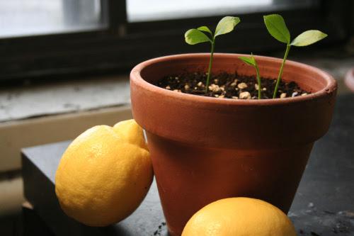 πως-να-καλλιεργήσετε-λεμονιά-στο-σπίτι-σας