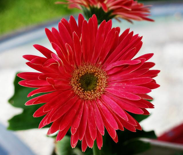daisy-reddish