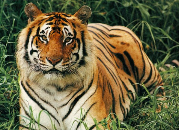 The bengal tiger stories to read - Hellokids.com