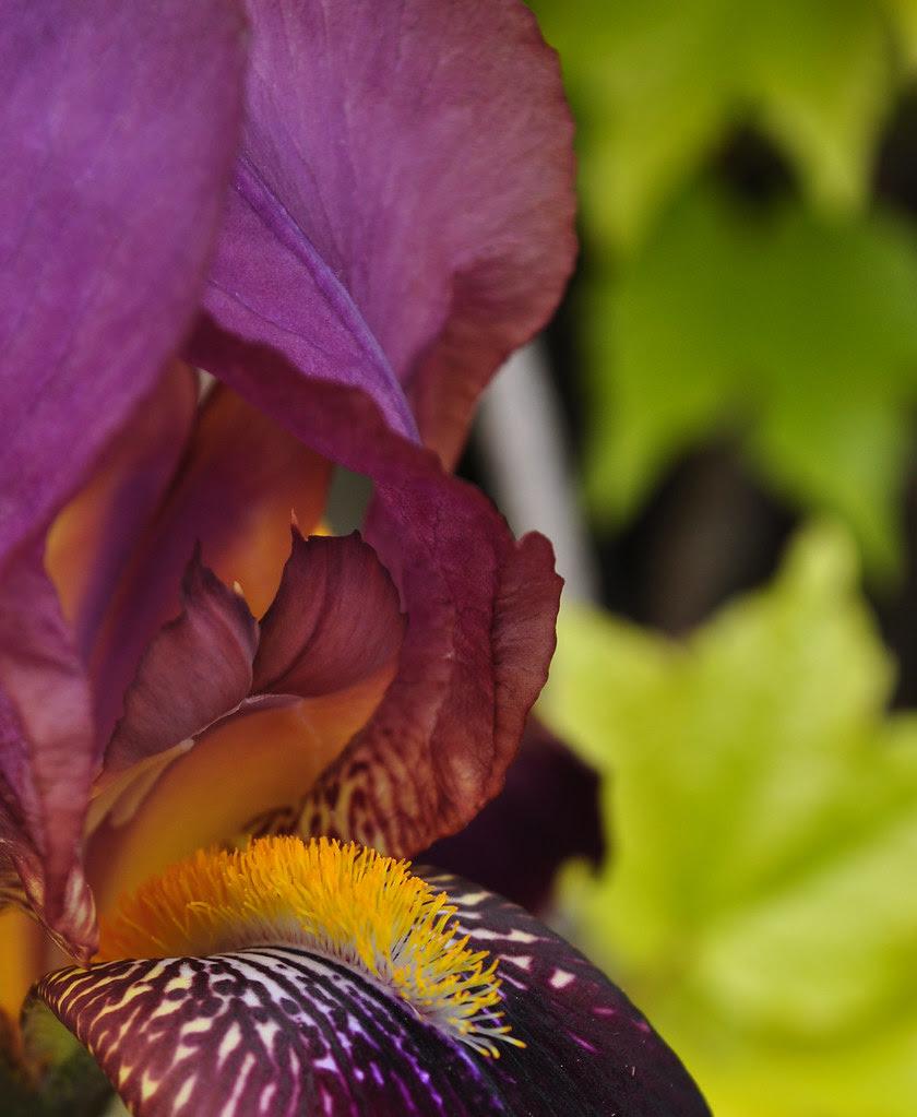 Iris by Fenway Park (2)