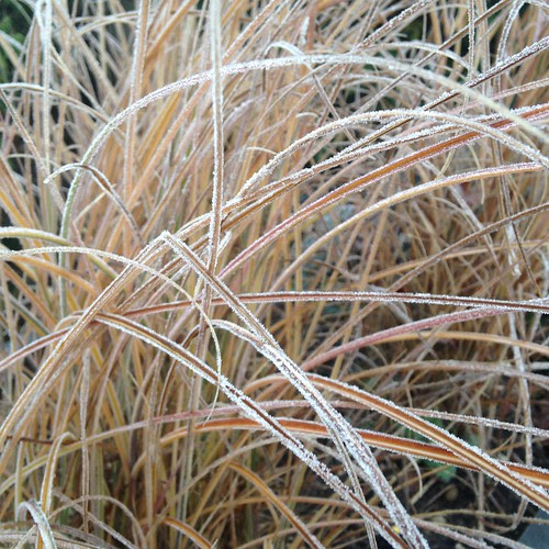 Proper frosty. Frozen grasses.