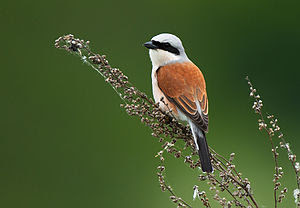 English: Red-backed shrike Deutsch: Neuntöter