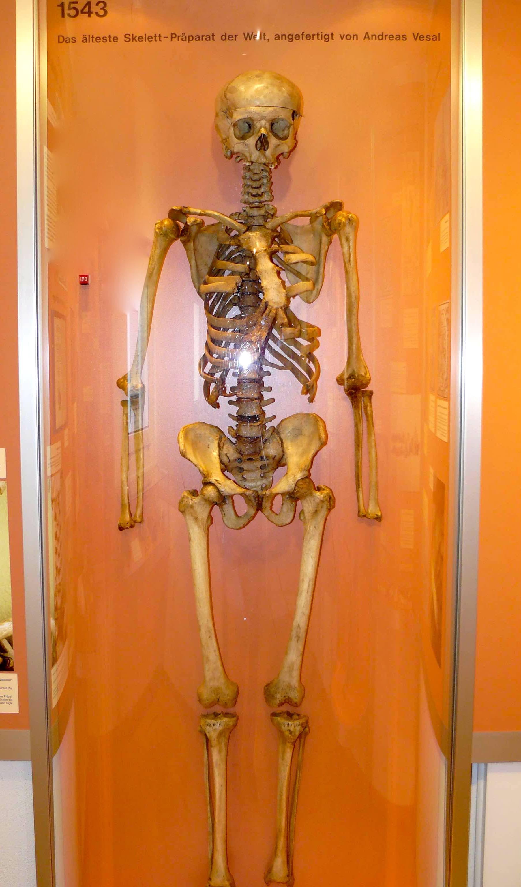 Resultado de imagen de vesalio skeleton  bassel anatomischen  museum