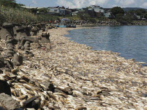 taiwan fish mass die-off, taiwan fish mass die-off august 2017, taiwan fish mass die-off video, taiwan fish mass die-off picture, taiwan fish mass die-off august 2017 video picture