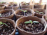Re-potted Riesentraube seedlings