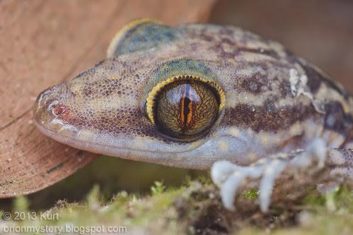 IMG_0152 copy Cyrtodactylus quadrivirgatus, Marbled bent-toed gecko