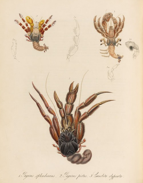 1820s zoology of Captain Beechey - Pagurus splendescens + Pagurus pictus + Caenobita clypeata