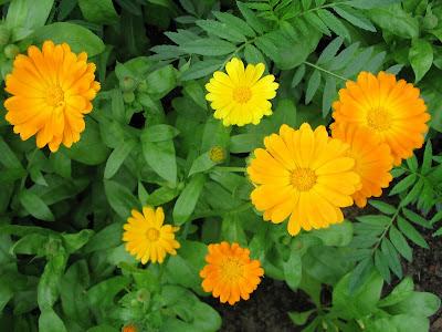 Лекарственные растения - Календула лекарственная