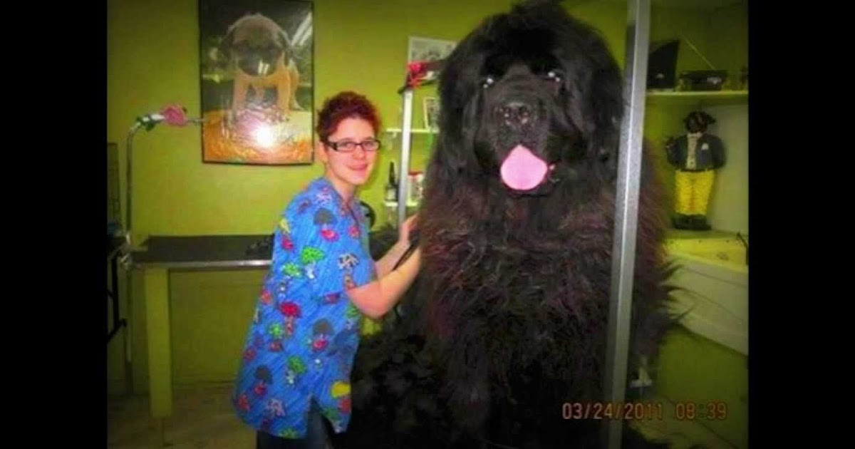 giant newfoundland dog bred to hunt bears. Black Bedroom Furniture Sets. Home Design Ideas