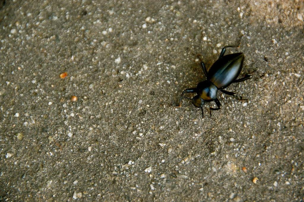 brave likes beetles