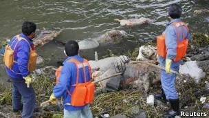 中国黄浦江死猪