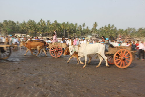 Bullock Cart Race Murud Through The Eyes Of A Poet by firoze shakir photographerno1