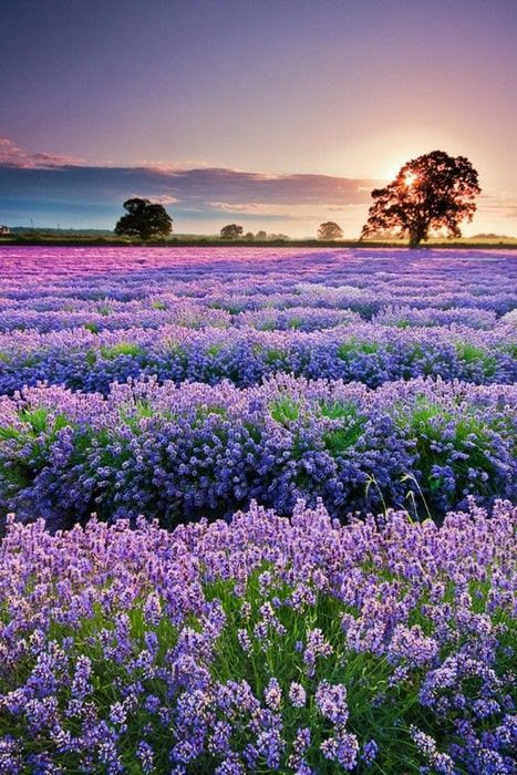 Lavender field in Provance - France. Join PINIFIC to achieve your goal .. visit..... www.pinific.com