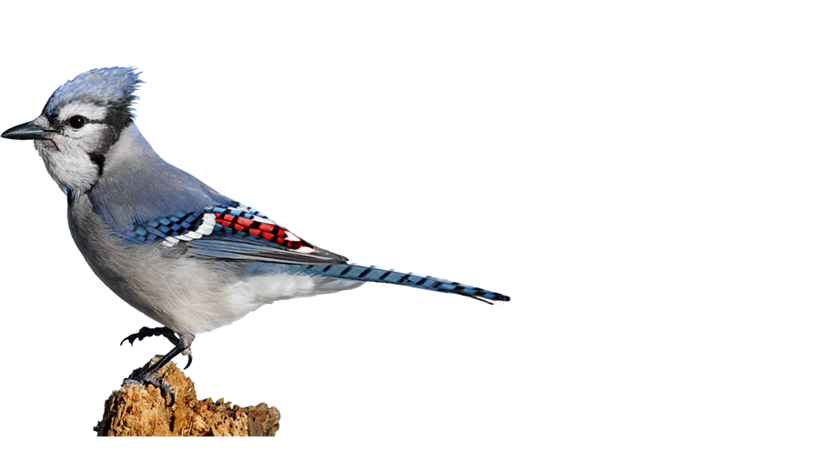 Home Red Bluejay Foundation