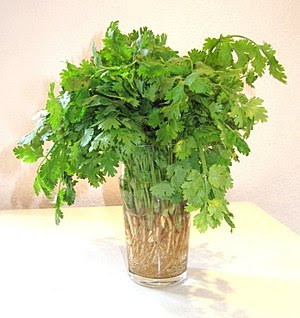 English: Fresh Cilantro (Coriander) Deutsch: V...