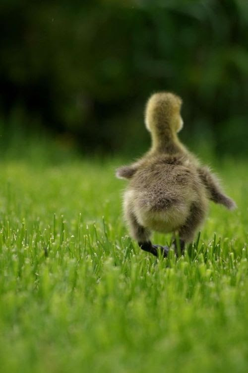 simply-beautiful-world:  What can be better than to waddle around in peace and happiness? With no worries to mar its happy face.