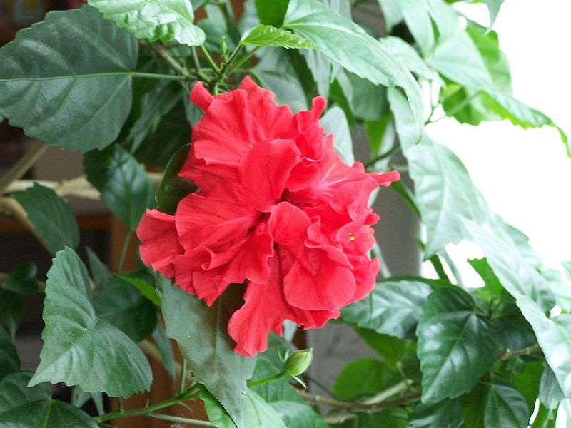 Fail:Chinese rose hibiscus.jpg