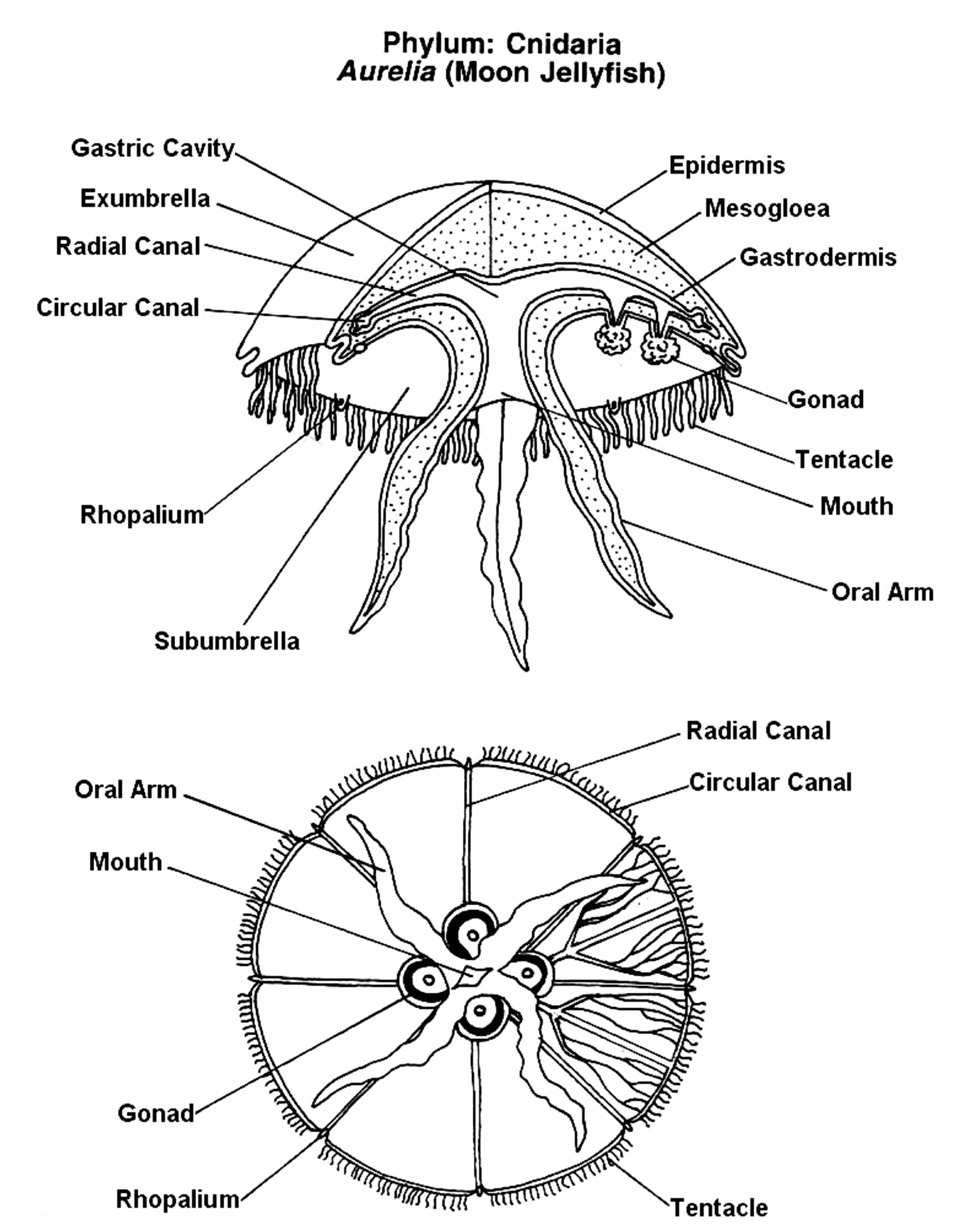 Jellyfish_diagram_2