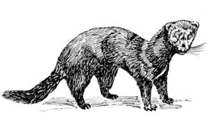line art drawing of Mink animal