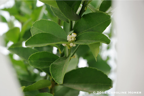 Key lime blossoms