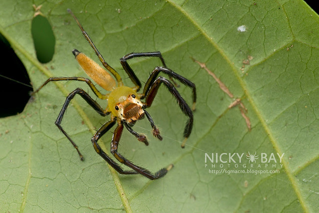 Jumping Spider (Salticidae) - DSC_3370