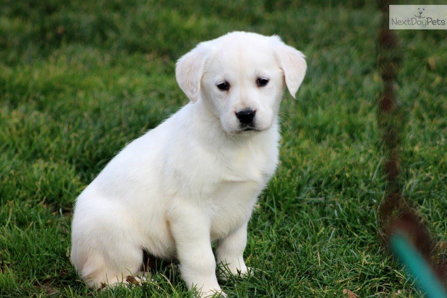 Tia  Golden Labrador Female  Goldador puppy for sale near Lancaster, Pennsylvania  c3e79d2e8021