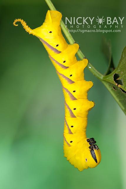 Death's Head Hawk Moth larva (Acherontia atropos) - DSC_0735